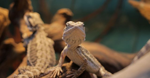 Bearded Dragons Are One Of The Most Popular Reptilian Pets These Gorgeous Little Lizards Are Laid Back And Relatively Easy Little Lizard Reptile Room Lizard