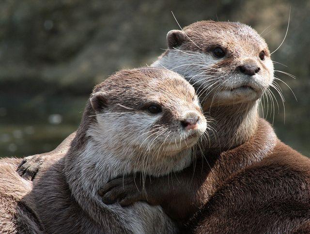 otter cuddle