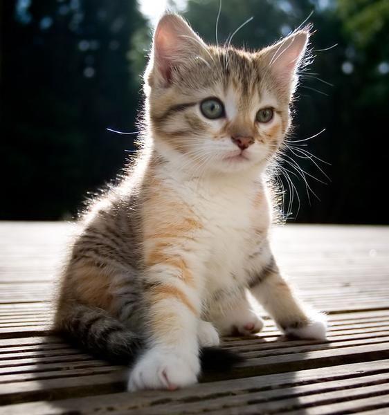Dubizzle Dubai Cats Findus 10 Weeks Kitten Free