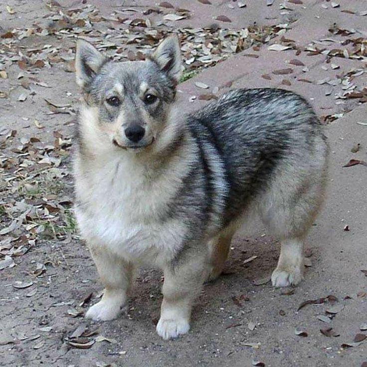 """A Swedish Vallhund. They're basically Wolf Corgis..."""