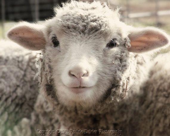 Sheep photo, Farm photography, Country, Rustic, Farm wall art, Lamb, 8 x 10, Richie via Etsy