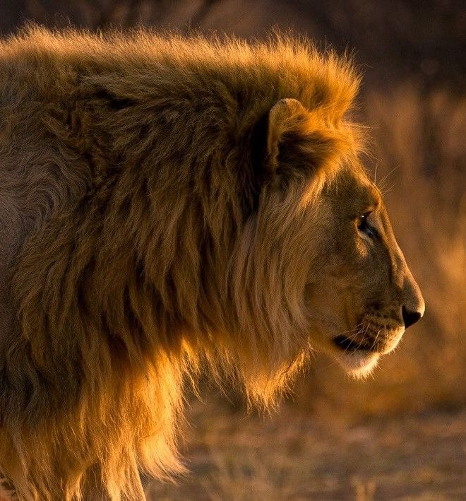Golden Lion | by Christopher Spiteri