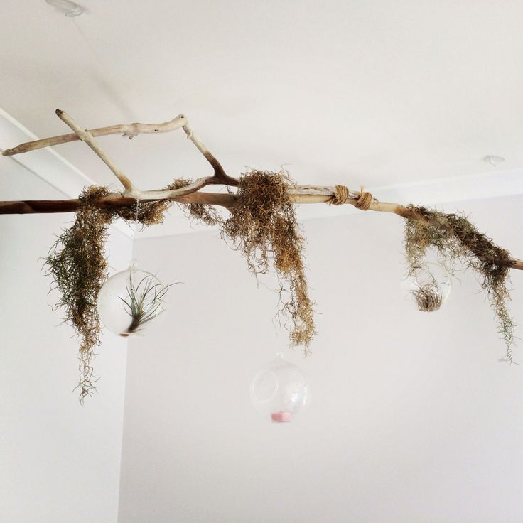 DIY driftwood chandelier with air plant terrarium.