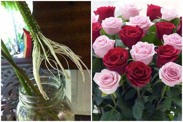 Gyökereztess rózsaszálakat! - Kárpát Magazin