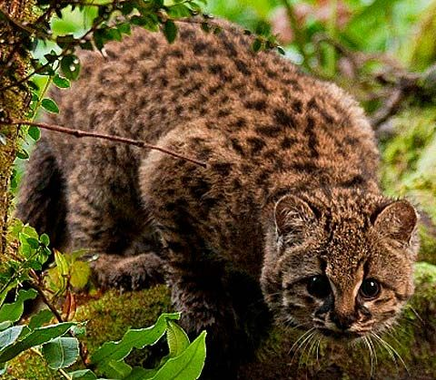 Kodkod - Small Wild Cat of the Western hemisphere. Southern Chile and Argentina, forests of the low Andes and coastal mountain regions.