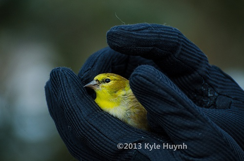 Gold Finch covered in human hand