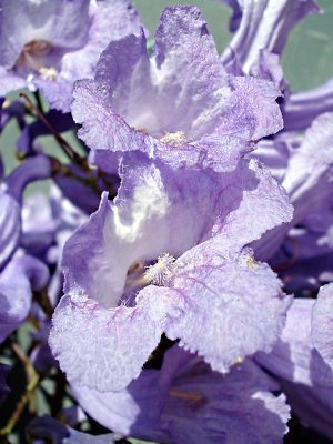Meaning of Flower Colors and lavender flowers particularly are a symbol of elegance, femininity, beauty, admiration, grace and refinement.  By giving someone a bouquet of lavender flowers shows that they are looked up to and are held as being refined, classy and a lady.