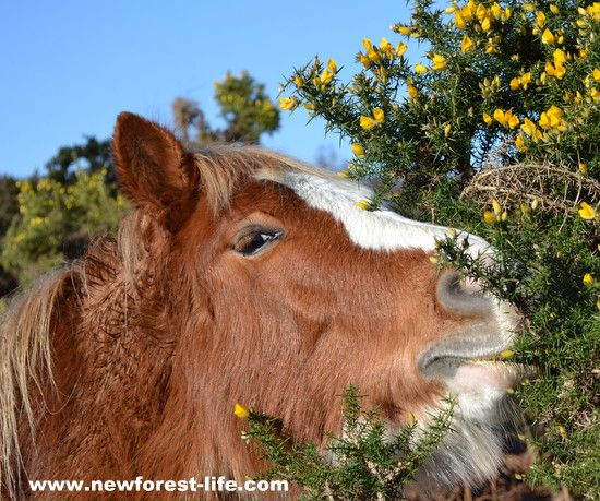 New Forest pony on a bright January morning eating gorse - carefully - ouch!