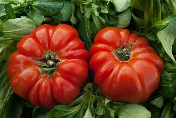 Cu ce stropim rosiile pentru o cultură bio? Administrarea de îngrășăminte este esențială pentru o dezvoltare armonioasă a roșiilor și pentru un rod bogat.