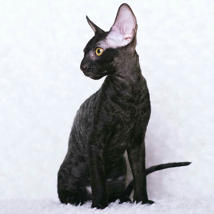 Black Cornish Rex Kitten ; cat