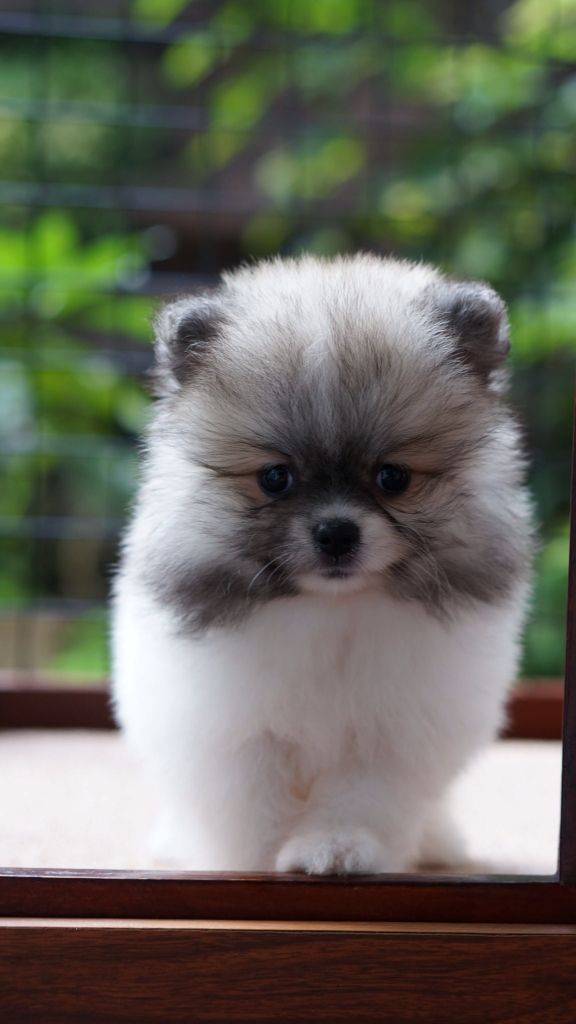 Female party colour pomeranian breed by Rio Farm Bandung