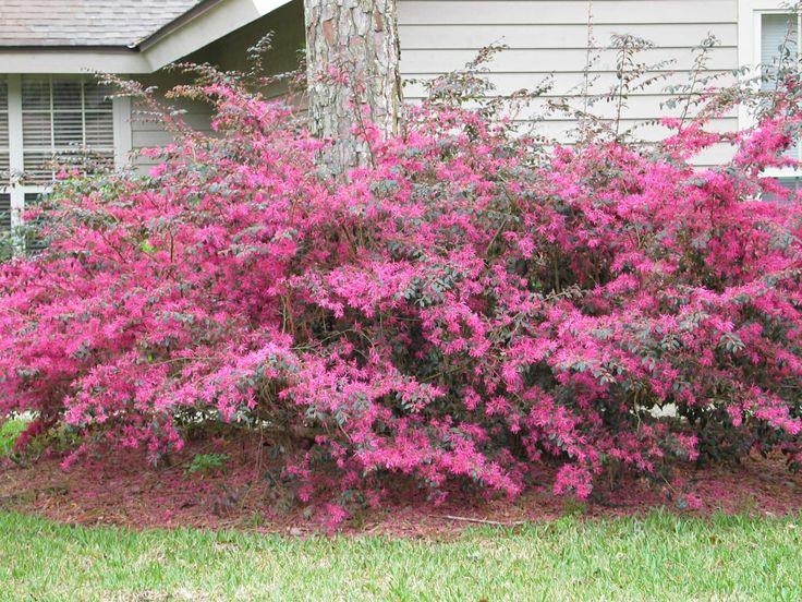Loropetalum Or Chinese Fringe Flower My Favorite Landscaping Shrub Has Lovely Pink Flowers