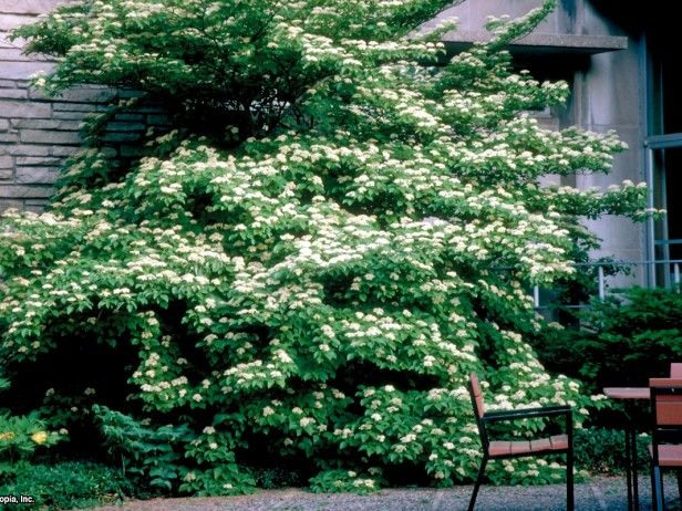 cornus alternifolia pagoda dogwood recommeded by sue