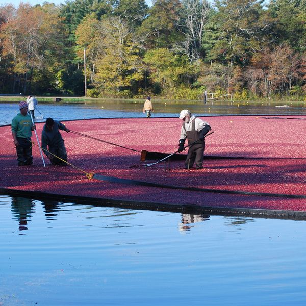 Every October in New England, farmers head to their bogs for the cranberry harvest. At the 112-acre Mayflower Cranberries farm in Plympton, Massachusetts (mayflowercranberries.com), you can join a Be the Grower experience and help gather the tart fruit. Strapped into waterproof overalls, you'll u...