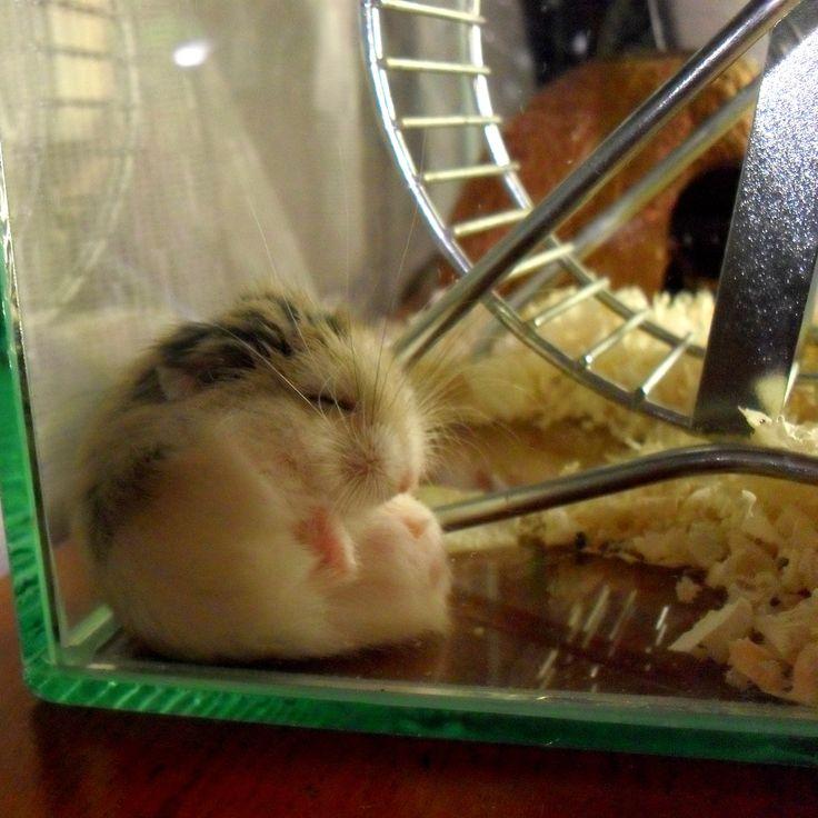 my sleepy #roborovski #hamster Grabowszki ♥