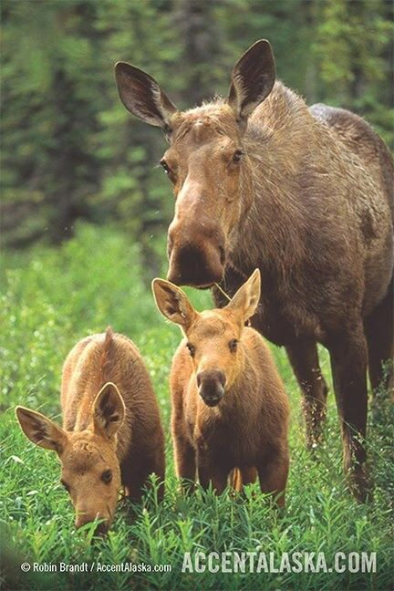 Moose mother with her twin calves.