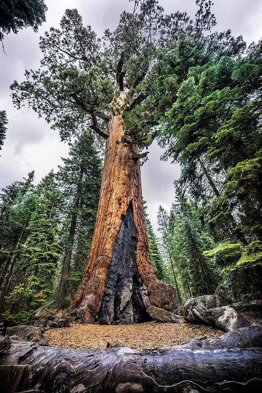 Grizzly Giant, Mariposa Grove, Yosemite national park, United States