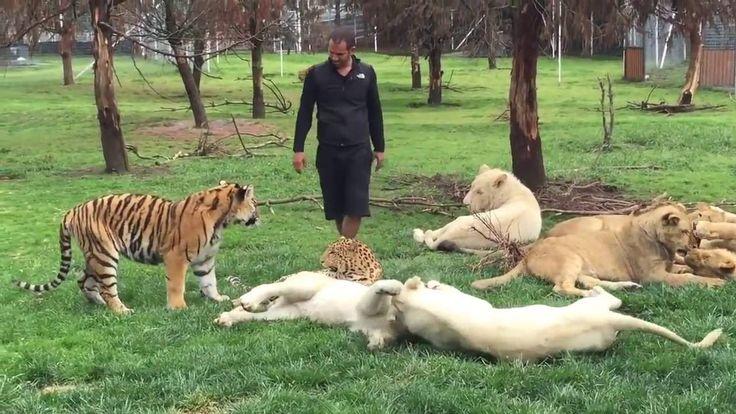 #Тигр защищает Человека От Нападения #Леопарда! #Tiger Saves Man From A ...