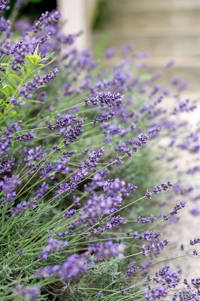 Homemade Lavender Syrup For Lemonade Lavender Syrup Lavender Plant Edible Lavender