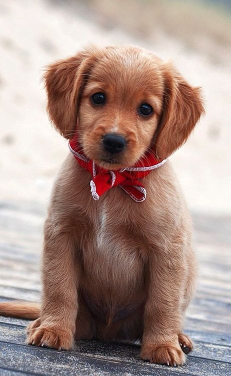 This puppy is wearing a bow. Guys... THIS PUPPY IS WEARING A BOW TIE.