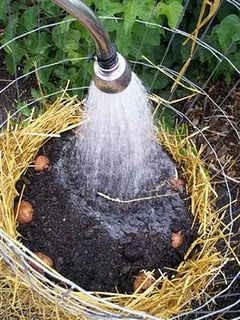 Make your own potato tower - no digging up potatoes!  yields about 25 lbs/tower. (Wonder if i could do with sweet potatoes?)