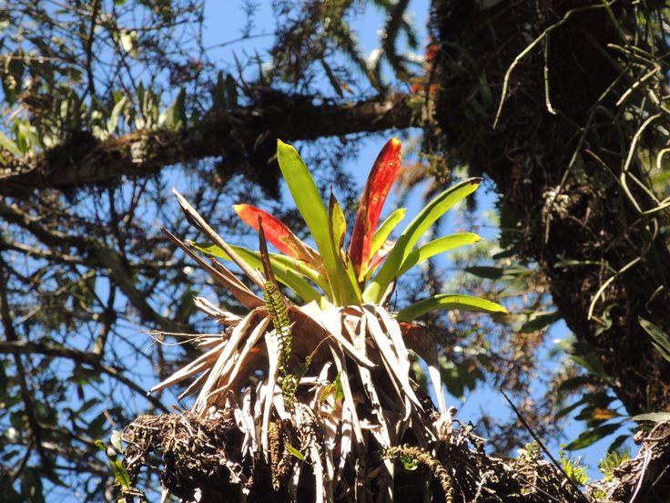 Bromélia, Bromeliaceae - Pousada Bicho do Mato, Gonçalves, Minas Gerais (Serra da Mantiqueira)
