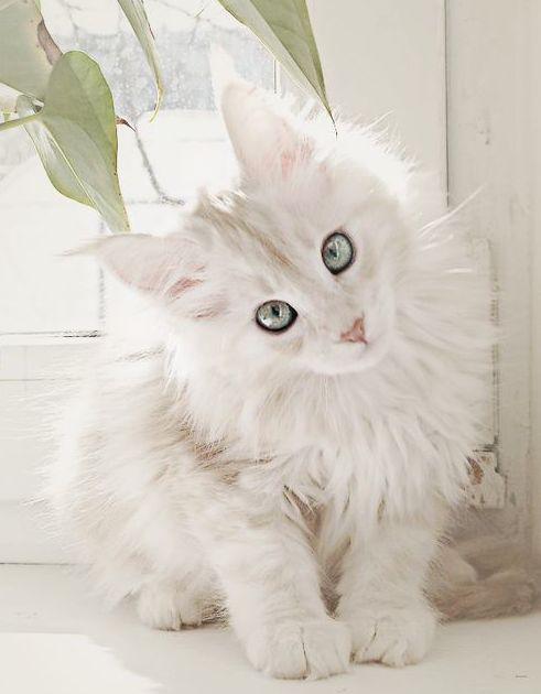White Maine Coon. My goodness when I saw this white Coon cat I could not believe it. What an amazing cat ! ! Stunning! !
