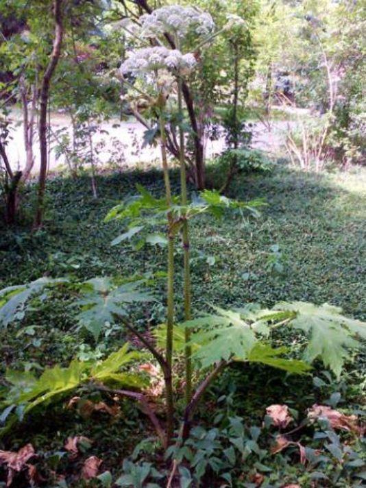 Plant that May Strike You Blind Found in Michigan - 635742202664591251-hogweed-msu