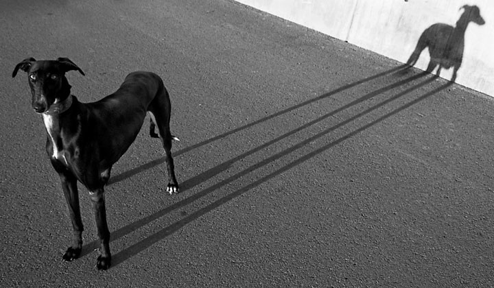 : Long Legs, White Photography, Greyhounds, Black And White, Black Dogs, Dogs Photography, Salvador Dali, White Dogs, Street Photography
