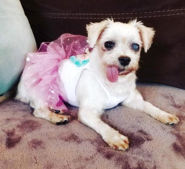 Elsa is a female Maltese who was rescued from a Korean slaughter house. She had some teeth removed & is receiving medication for her eye. Elsa is available at Animal Hope & Rescue Foundation, Sherman Oaks,CA.