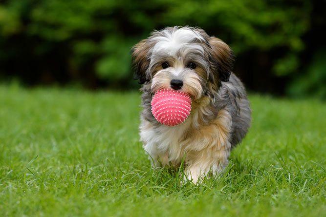 Det er hyggelig å ha en hund i familien, men hvilken skal man velge? Her er 10 små hunderaser som passer godt for barnefamilier.