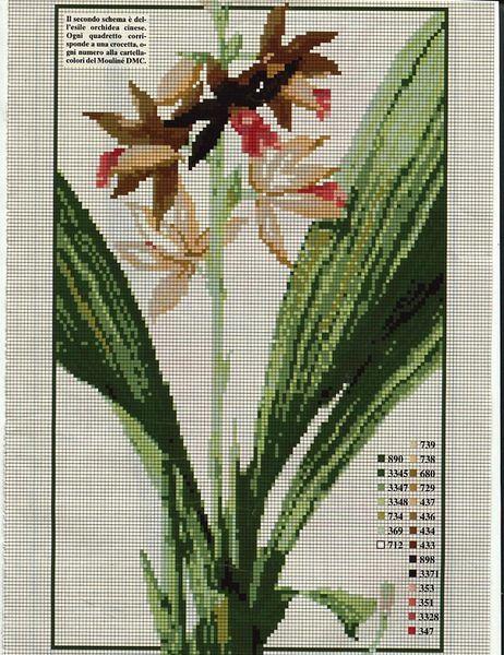 Orchidea cinese