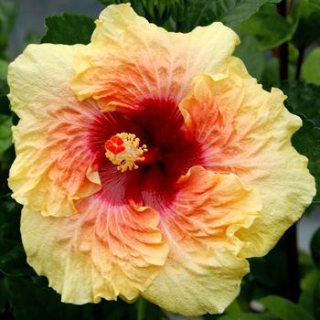 """Tropical Hibiscus 'Cheerful Heart' Giant hibiscus  will brighten anyone's day with its huge 8-10"""" ruffly yellow singles with a soft red eye that softly blends into the yellow. 'Cheerful Heart' is the child of two giant hibiscus 'Moonstruck' and 'Strawberry Cream.' The bush is upright and pretty, and easily holds up the giant flowers. Released from HVH in 2011. Hybridizer: C. Black"""