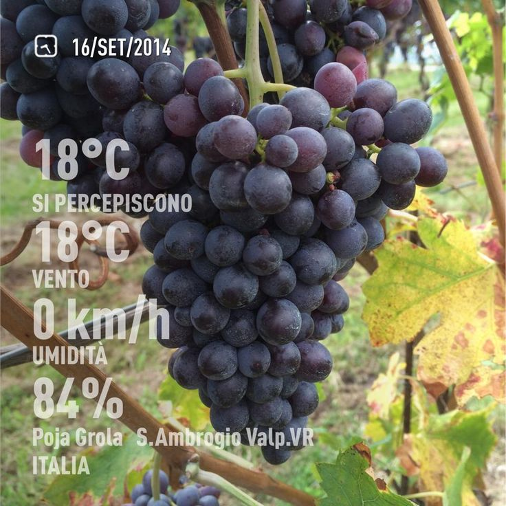 September 16th, 2014.  Healthy #wine grapes in the Allegrini #vineyards of Valpolicella, Italy.