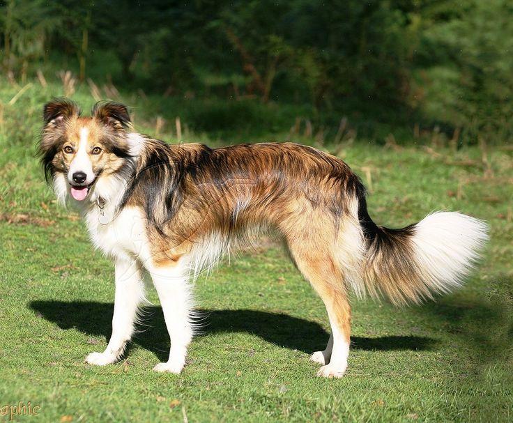 Welsh Sheepdog Dog