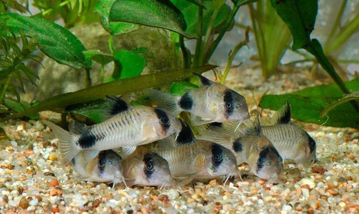 The Panda Cory Is Just One Of The Many Types Of Corydoras