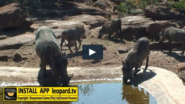 What is new at Leopard Castle? Watch the video! #leopardtv #wildlife #shayamanzi