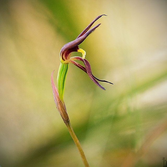 Orchid...