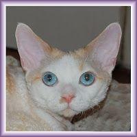 Питомник девон рексов DEVONLAND: Devon Rex Kitten. Котята девон рекс для вас