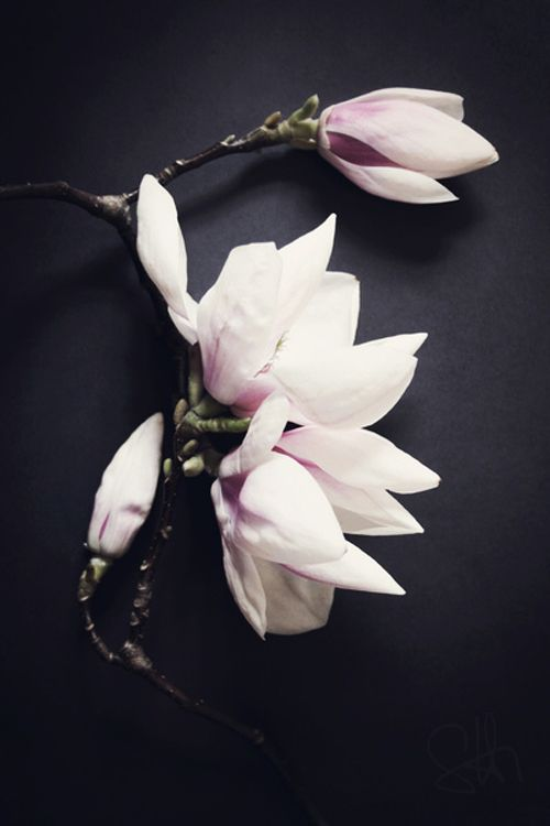 pink + black: Plants Flowers, Inspiration, Style, Flowers Plants, Pink, Bloom, Floral, Flowers Magnolias