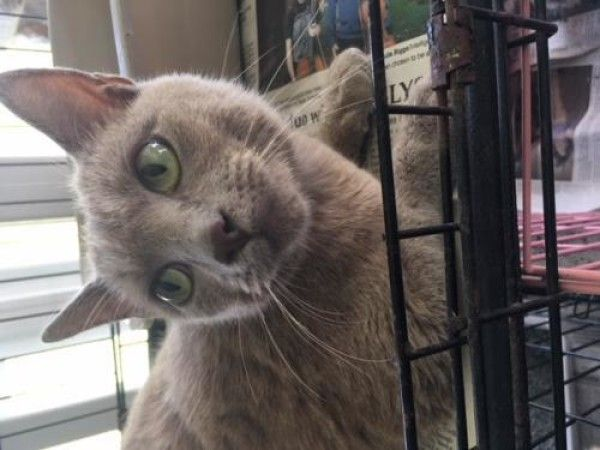 Salina Domestic Short Hair Siamese Cat For Adoption In Troy