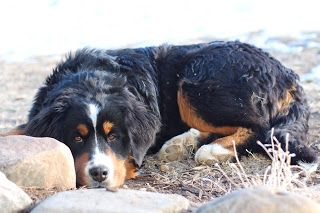 Prairie Willow Golden Mountain Dogs: Gallery