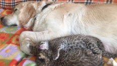Il cane Tessie adotta due cuccioli di leopardo respinti dalla madre