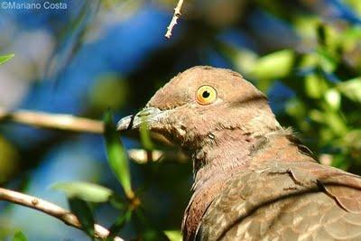 La paloma araucana (Patagioenas araucana) es una especie de ave columbiforme de la familia Columbidae propia de América del Sur. Está presente en el sur de Chile y Argentina, e inverna más al norte. (Wikipedia).