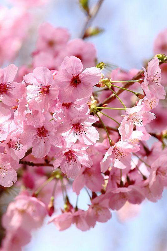 SAKURA. Pink flowers. Nature