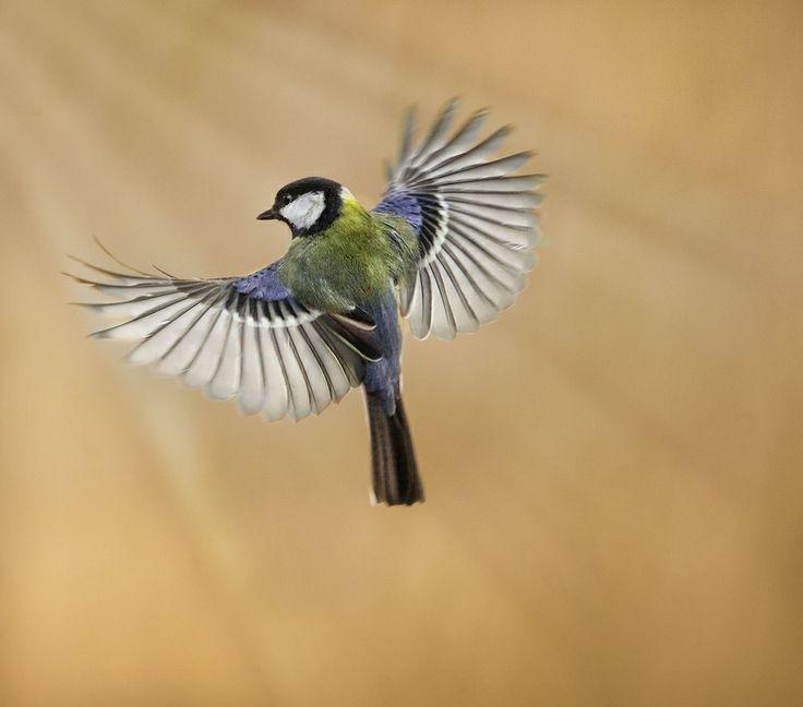 Great Tit Hover! by Sue Demetriou, via 500px