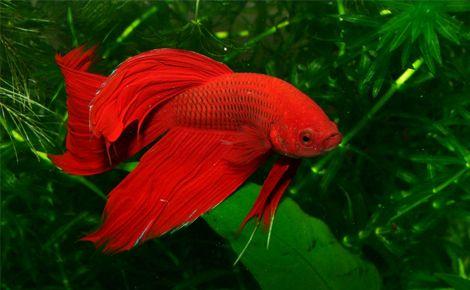 Siyam Dövüşçüsü Balığı (Betta Splendens)