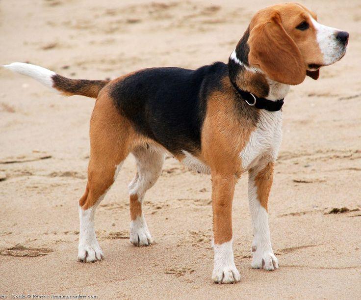beagle | Beagle - Razas perros | Mascotas.