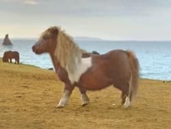 Pony Shetland de las islas de Escocia Shetland. Uno de los equinos más pequeños.