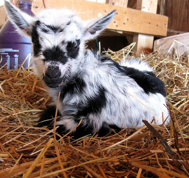 Lilly's 2012 buckling, one day old nigerian dwarf goat